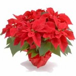 Annual 4th Grade Poinsettia Sale